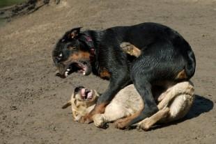 Câine-de-luptă-310x207