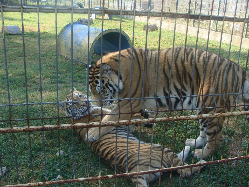 tigrii zoo2