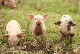15 lucruri fascinante pe care nu le știai despre porci