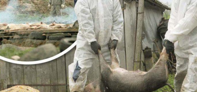 Pesta-porcina-africana-in-Arges
